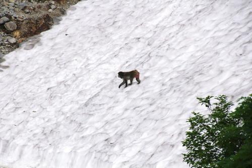 雪渓を渡る猿.jpg