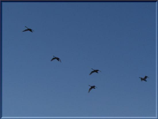 青空を飛ぶ白鳥・アップ.jpg